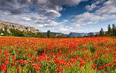 Field of poppies in the spring — Zdjęcie stockowe