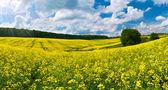 Kwiat pole rzepaku — Zdjęcie stockowe