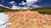 Mountains with field of blossom crocuses — ストック写真