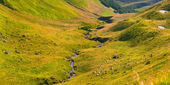 Flocks of sheep in the Carpathian mountains. — Stock Photo