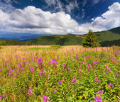 Field of angustifolium flowers in mountains — Stock Photo