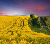 Summer field of yellow flowers. — Stockfoto