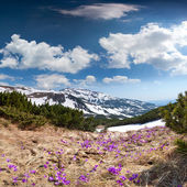 Field of blooming crocuses in mountains — Stockfoto