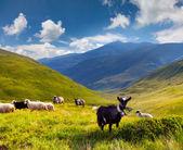 Gregge di pecore e capre in montagna — Foto Stock