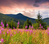 Angustifolium flowers in the Carpathian mountains. — Stock Photo