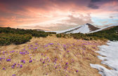 Mountains with field of blossom crocuses — Stockfoto