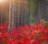 Pine forest with red bushes of the sumac — Stock Photo