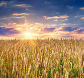 Amanecer entre un campo de trigo — Foto de Stock