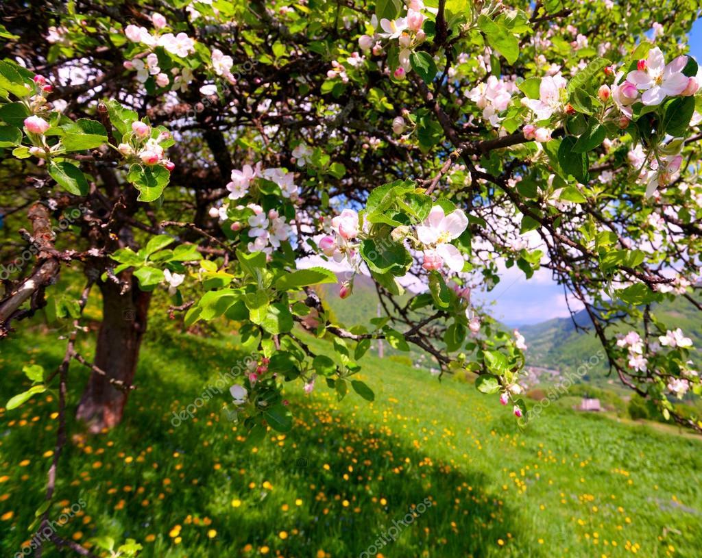 山区村庄在春天开花的苹果树C