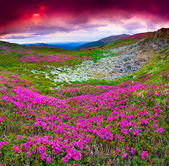 Pink rhododendron flowers under red sky. — Stock Photo