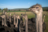 Ostrich stare — Стоковое фото