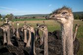 Ostrich stare — Stock Photo