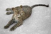 Cheetah on ground — Stock Photo