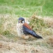 American kestrel (Falco sparverius) — Stock Photo #51533927