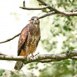 Common buzzard (Buteo buteo) — Stock Photo #51534029