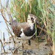 Northern Lapwing (Vanellus vanellus) — Stock Photo #51534393
