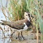 Northern Lapwing (Vanellus vanellus) — Stock Photo #51534593