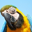 Blue and yellow Macaw (Ara ararauna) — Stock Photo #51534951