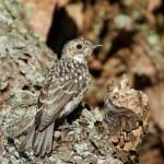 Spotted flycatcher (Muscicapa striata) — Stock Photo #51535107