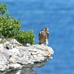 ������, ������: Peregrine Falcon Falco peregrinus
