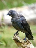 Rook (Corvus frugilegus) — Стоковое фото
