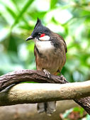 Red-whiskered Bulbul (Pycnonotus jocosus) — Stock Photo
