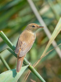 Eurasian reed warbler (Acrocephalus scirpaceus) — Stock Photo