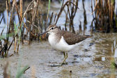 Common Sandpiper (Actitis hypoleucos) — Stock Photo