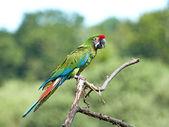 Military Macaw (Ara militaris) — Stock Photo