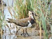 Northern Lapwing (Vanellus vanellus) — Stock Photo
