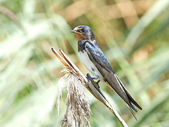 Barn Swallow (Hirundo rustica) — Stock Photo