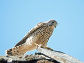 Common Kestrel (Falco tinnunculus) — Stock Photo