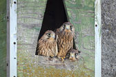 Common Kestrel (Falco tinnunculus) — Stok fotoğraf