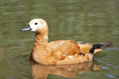 Ruddy shelduck (Tadorna ferruginea) — Foto de Stock