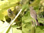 Common redstart (Phoenicurus phoenicurus) — Stock Photo