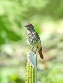Common redstart (Phoenicurus phoenicurus) — Photo