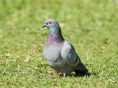 Feral pigeon (Columba livia) — Stock Photo
