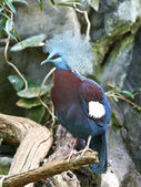 Southern Crowned Pigeon (Goura scheepmakeri) — Stock Photo