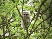 Tawny Owl (Strix aluco) — Stockfoto