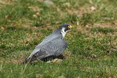 Gyrfalcon (falco rusticolus) — Stock Photo