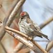 Common Redpoll (Carduelis flammea) — Stock Photo #51541103