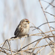 Common Redpoll (Carduelis flammea) — Stock Photo #51541299