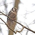 Northern Hawk Owl (Surnia ulula) — Stock Photo #51541997