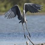 Grey Heron (Ardea cinerea) — Stock Photo #51542357