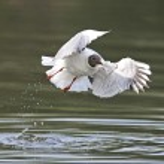 Black headed Gull (Chroicocephalus ridibundus) — Stock Photo #51542645