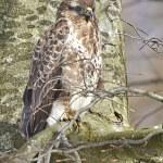 Common buzzard (Buteo buteo) — Stock Photo #51542901
