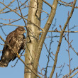 Common buzzard (Buteo buteo) — Stock Photo #51543907