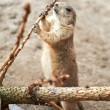 Black Tailed Prairie Dog (Cynomys ludovicianus) — Stock Photo #51544085