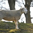 Domestic Sheep (Ovis aries) — Stock Photo #51544875