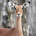 ������, ������: Impala Aepyceros melampus